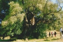 olivastro Luras Tempio
