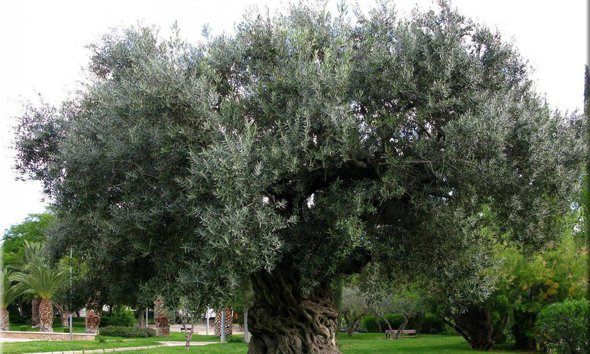 Confraternita dell'olivo e dell'olio dell'alta valle del tevere